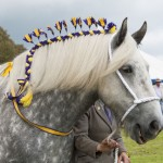 Shire Horse at St Ewe Country Fair